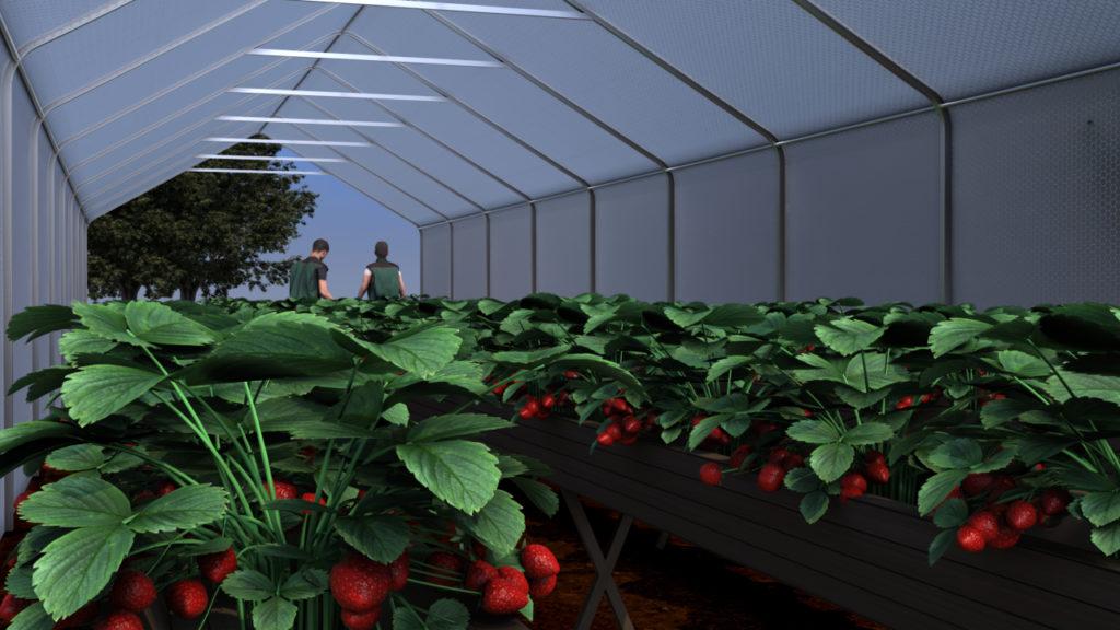 jordbær tunneldyrking