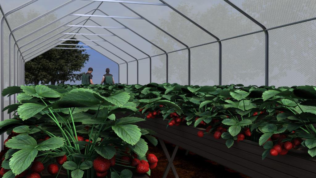 jordbær tunneldyrking telt